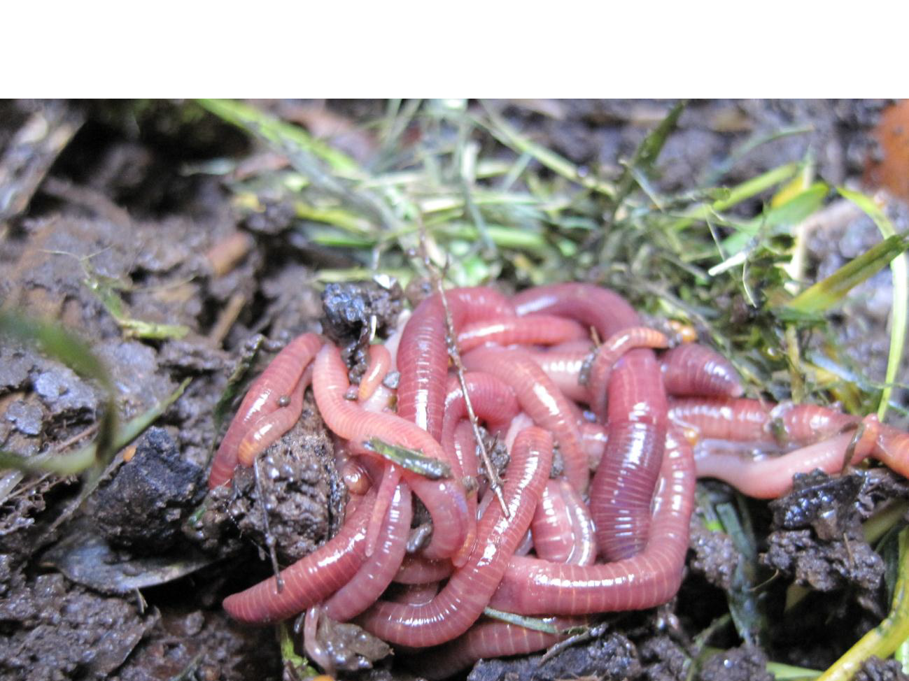 with earthworms is a known