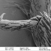 Figure 2. SEM image of a Golden Stonefly claw
