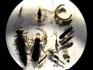 Figure 4: Sample of Macroinverts