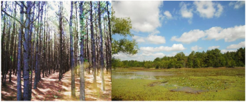Figure 2. Forest (left) and wetland (right) reclamation sites, Oak Hill Mine, Henderson, TX.