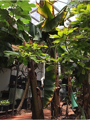 Banana trees growing inside the Phoenix greenhouse. A compost tea brewing set up sits behind the trees.